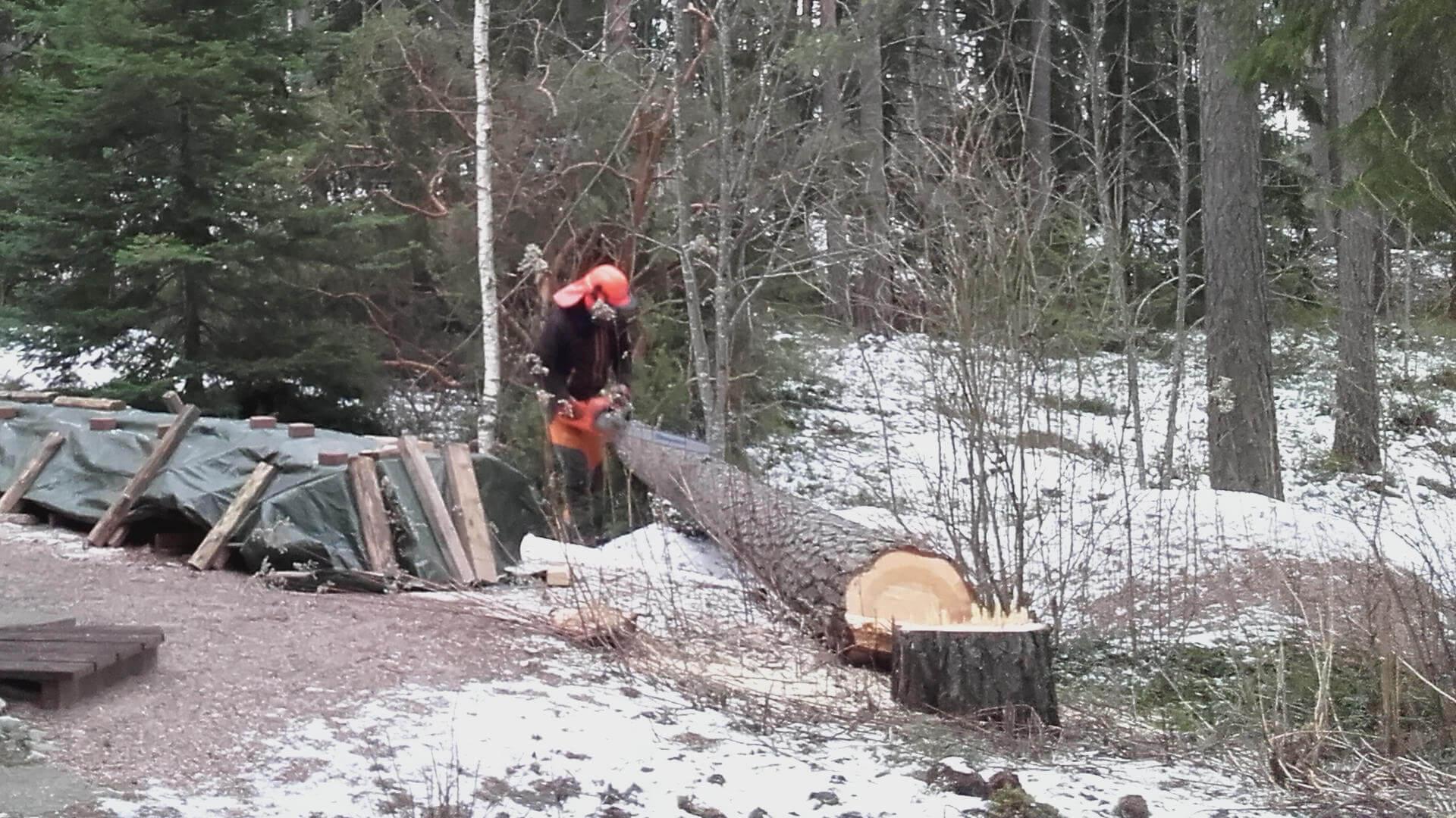 Ammattitaitoinen metsuri kaataa puut tarkasti.