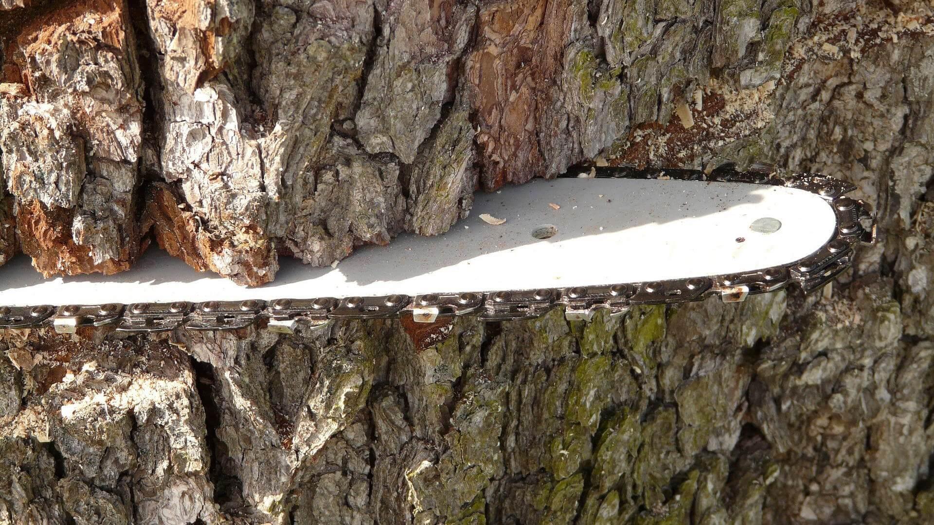 Moottorisahan terä pureutuu puun runkoon.